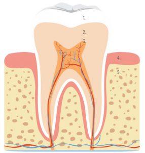 ząb ludzki, trzonowiec